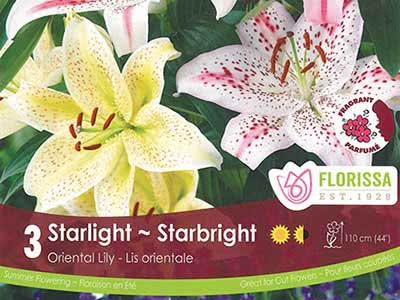 Starlight-Starbright - Oriental Lily