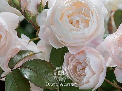 David Austin Roses - New for 2018