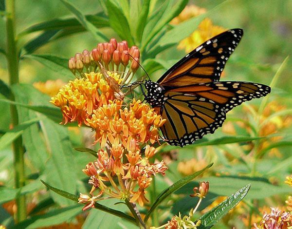 Asclepias Tuberosa Monarch Butterfly