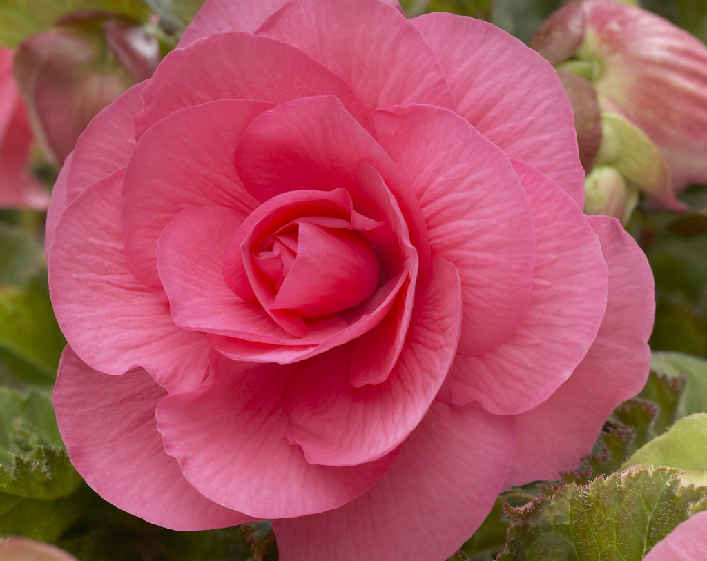 Begonia Double Camelia Pink