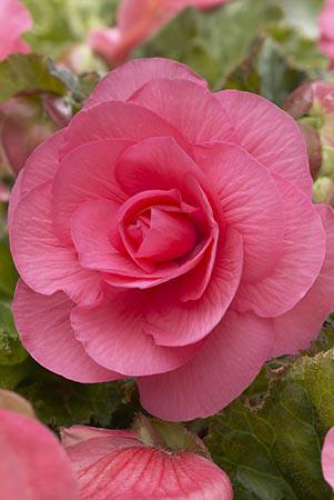 Pink Double Camelia Begonia