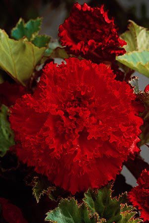 Begonia Double Fimbriata - Red