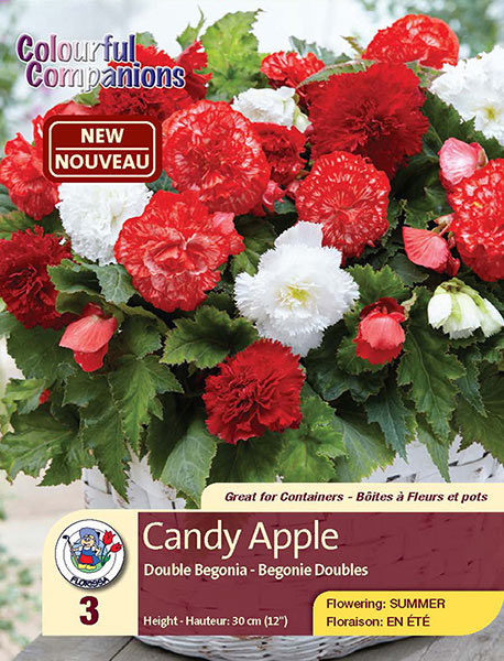 Candy Apple - Double Begonia - Flowering in Late Summer