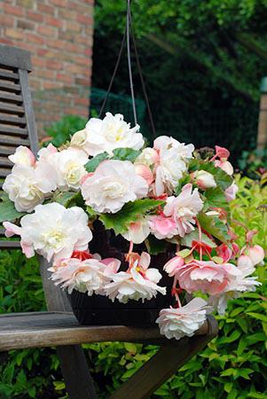Pendula Begoniast Hanging Baskets in Bloom
