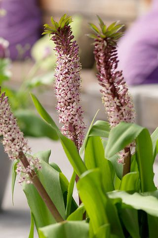 Pineapple Flower - Eucomis Comosa