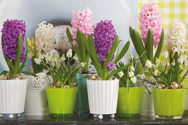 Mixed Hyacinthus and Muscari