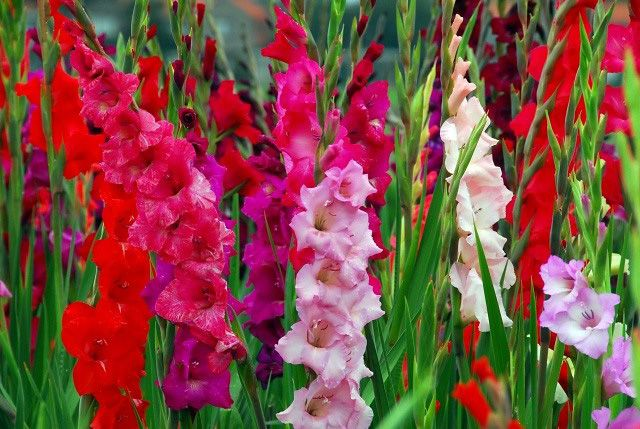Planted Gladiolus