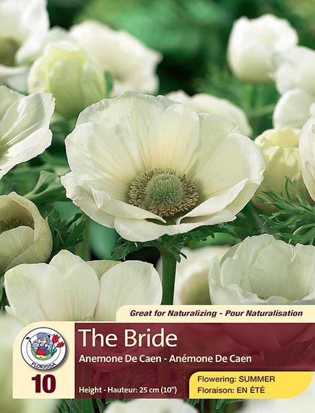 The Bride - Anemone De Caen - Flowering in Summer
