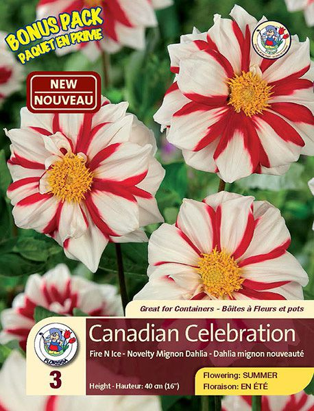 Canadian Celebration - Fire N Ice - Novelty Mignon Dahlia - Flowering in Summer