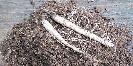 Asclepias Tuberosa Bare Roots