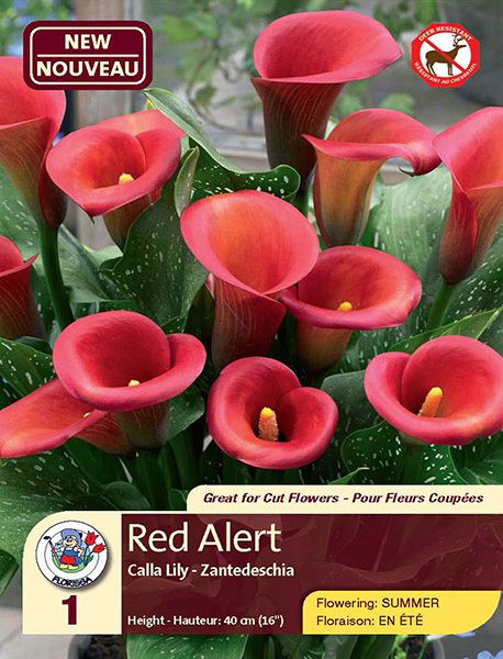 Red Alert - Calla Lily - Flowering in Summer