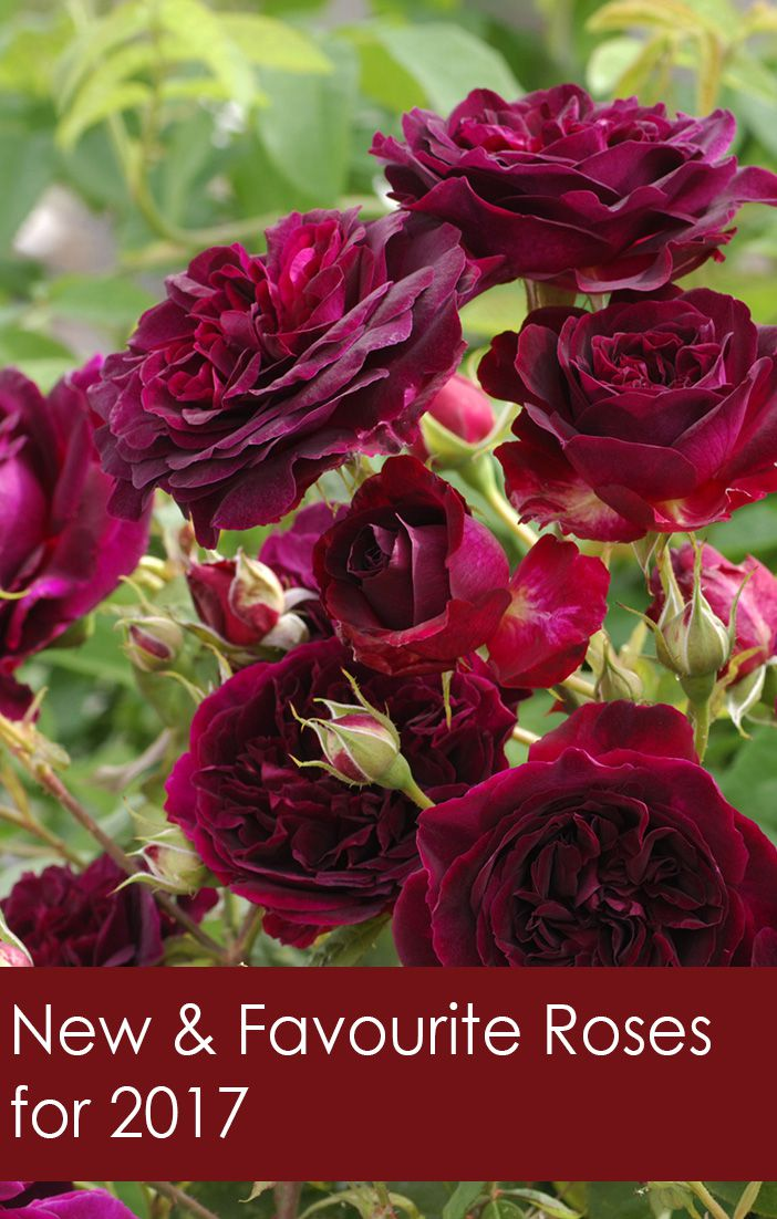 Roses In Garden: New & Favorite Roses For 2017 - Florissa