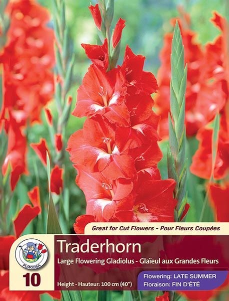 Gladiolus Traderhorn - Large - Flowering in Late Summer