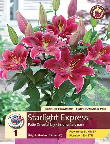 Starlight Express - Patio Oriental Lily - Flowering in Summer