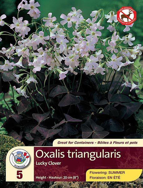 Oxalis Triangularis - Lucky Clover - Flowering in Summer