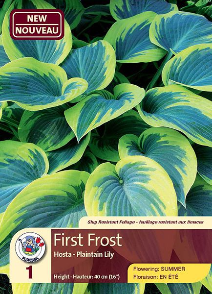 First Frost - Hosta - Plaintain Lily - Flowering in Summer