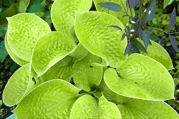 Hosta Maui Buttercups emerges with lime green foliage in the spring
