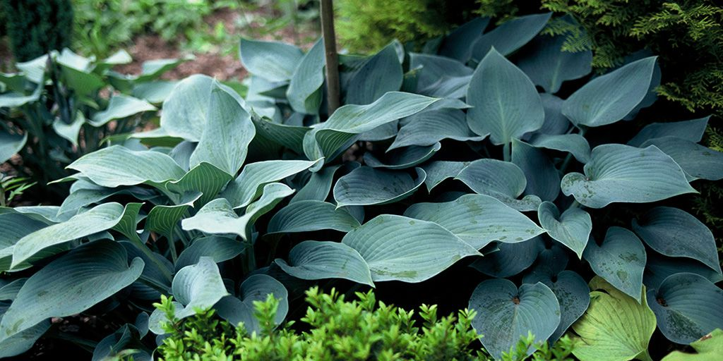 Hostas Sun Tolerant And Slug Resistant Florissa Flowers More