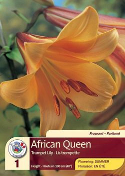 Lilium African Queen - Trumpet Lily - Flowering in Summer