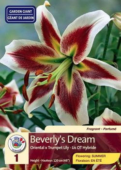 Beverly's Dream - Oriental x Trumpet Lily - Flowering in Summer