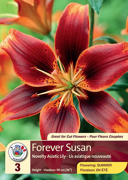 Forever Susan - Novelty Asiatic Lily - Flowering in Summer