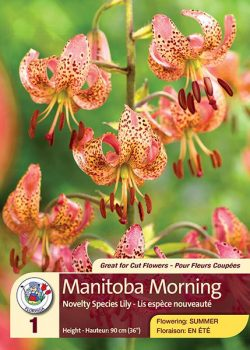 Manitoba Morning - Novelty Species Lily - Flowering in Summer