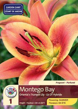 Montego Bay - Oriental x Trumpet Lily - Flowering in Summer