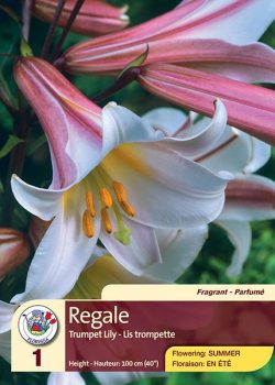 Regale - Trumpet Lily - Flowering in Summer
