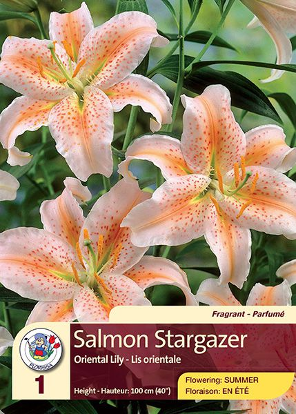 Salmon Stargazer - Oriental Lily - Flowering in Summer