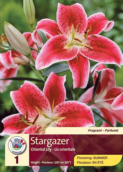 Stargazer - Oriental Lily - Flowering in Summer