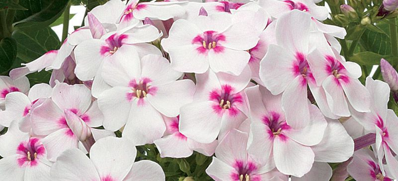 Phlox White Eye Flame