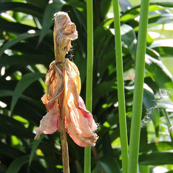Tulip Ready for Dead-Heading