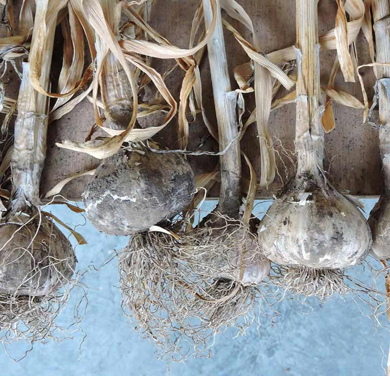 Harvesting Garlic - Garlic Roots Untrimmed