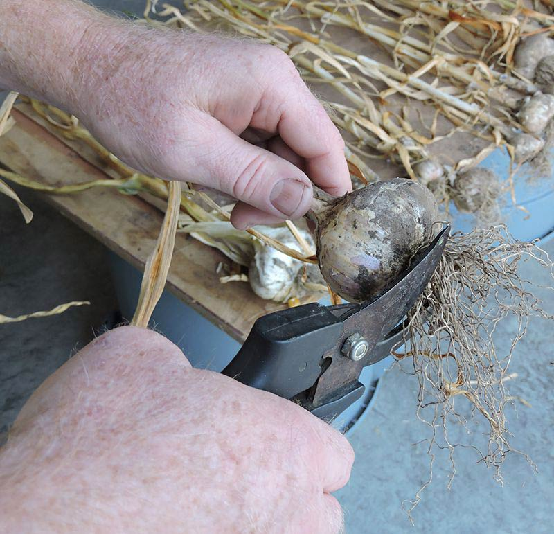 Harvesting Garlic - Trimming Garlic Roots