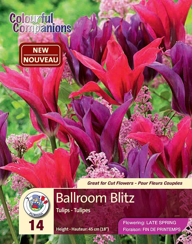 Ballroom Blitz - Colourful Companions - Tulips - Flowering in Late Spring