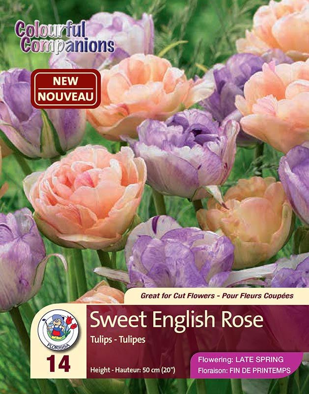 Sweet English Rose - Colourful Companions - Tulips - Flowering in Late Spring