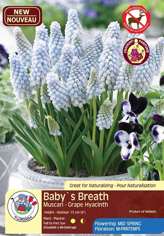 Baby's Breath - Muscari - Grape Hyacinth - Deer Resistant - Flowering in Mid Spring