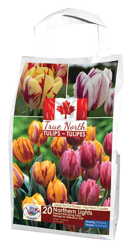 True North - Northern Lights Tulips