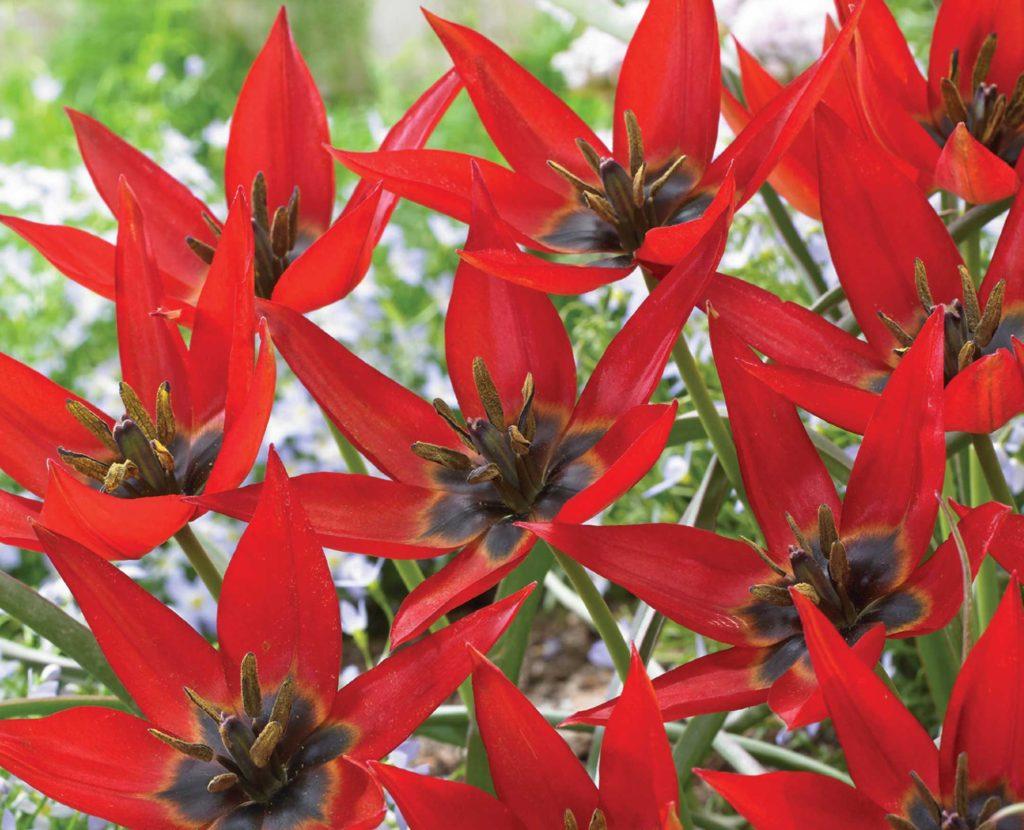 Mini-Botanical Tulip Lizzy