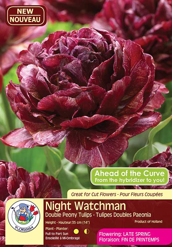 Night Watchman - Double Peony Tulips - Flowering in Late Spring