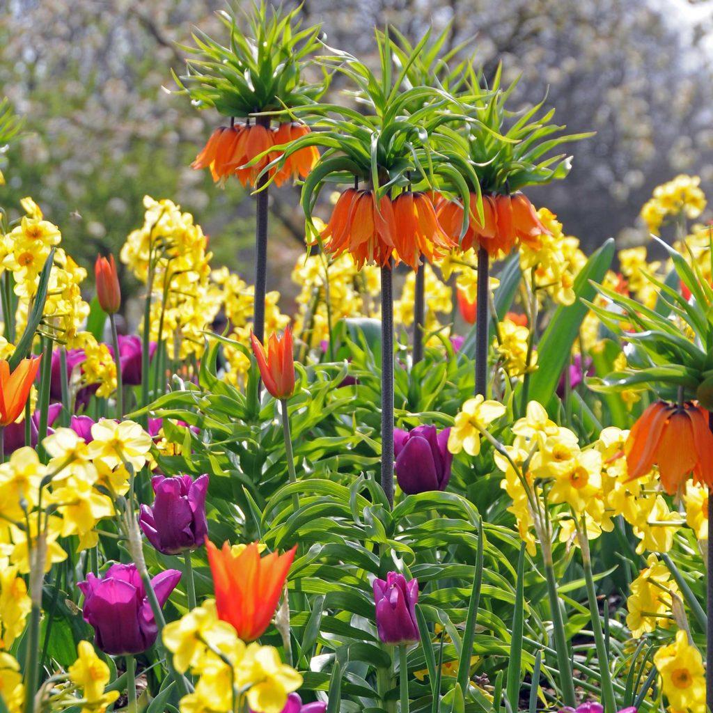 Allium Nectaroscordum Siculum Arrangement