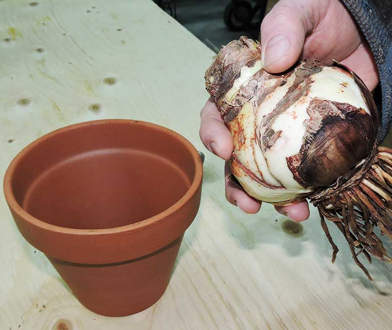 Preparing to Pot Amaryllis Bulb