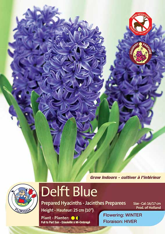 Delft Blue - Prepared Hyacinths - Flowering in Winter