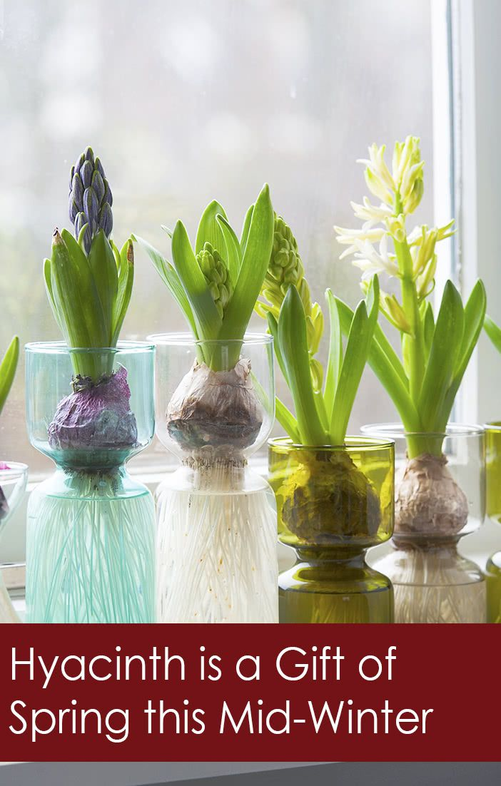 Forcing Hyacinth Bulbs In Vase Pinterest Florissa Flowers