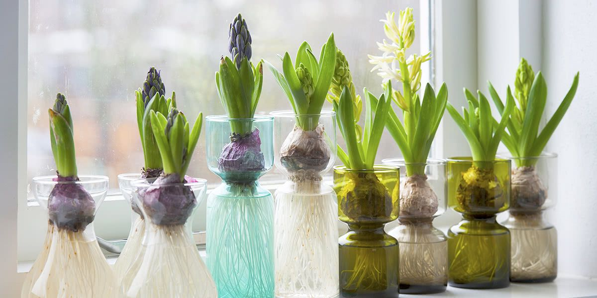Forcing Hyacinth Bulbs In Vase Twitter Florissa Flowers Roses