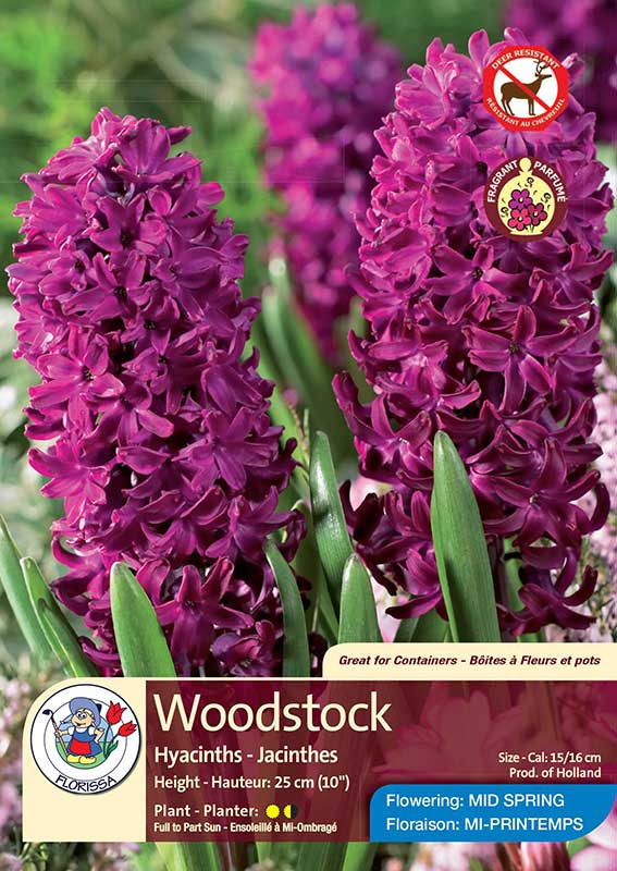 Woodstock - Hyacinths - Flowering in Mid-Spring