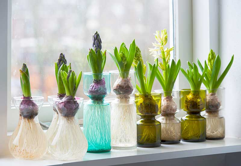 Forcing Hyacinths in Glass Vase