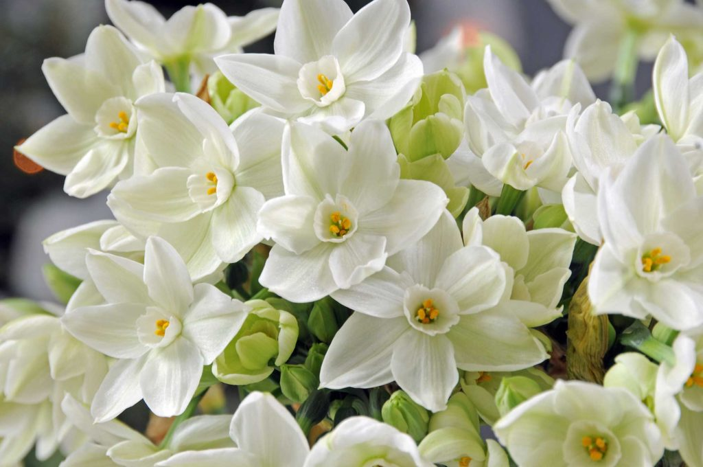 Narcissus Paperwhite - Ziva Cover