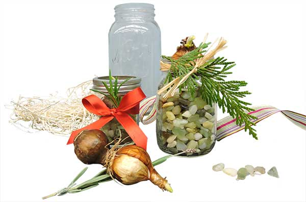 Paperwhites - Decorative Festive - in Jars