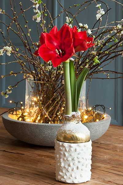 Waxed Amaryllis in Bloom